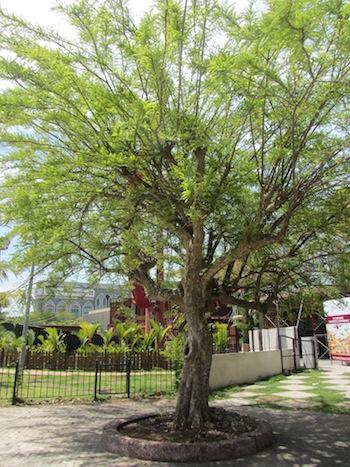 melaka tree